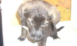 I have Ten Grayhound cross husky puppies for sale.They are ready for a good home by january 11 20012.Grayhounds and husky are good around children .Phone jim at 778 478 1007
