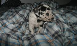 5 Great Dane puppies, Ready to go January 3rd, they will between 34 and 35 inches at the shoulder, they will be well socialize with children, other dogs and cats, They will come with vet check, first shots and deworming. Their dad is harlequin akc reg'd