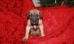 We have a nice litter of Great Dane puppies for your consideration. We have males and females. And all puppies come vet checked with first vaccinations and dewormed. They come home to you with their health cerificate and records, a puppy starter pack