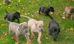 Beautiful, Healthy, Family raised Great  Dane Puppies looking for good homes Vet checked and Dew Claws removed They go back this week to the Vet's for their first shots and de-worming Father is a registered Blue Dane and mom is a Fawn Dane Still to go