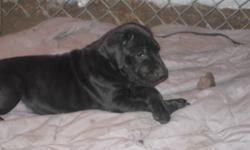 We have 4 gorgeous beautiful dane puppies that are ready to go to their forever   home. Mom (Kenya) and Dad (Seeger) are both on site to view. All pups are dewormed and have their first shots. They are well socialized with other dogs as well as with