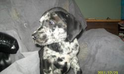 Mom is Full Black Great Dane ... Dad is 1/2 Great Dane 1/2 Siberian Husky Great Mix of Colours ...  All 3 pups are girls that are on puppy food, water and paper trained ! These soft and gentle pups want to be in your home today ! If you want the lap dog