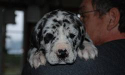 Bring in the New Year with a new addition to your loving Family ! We have Black with white blaze Grt Dane x Grt Dane Mastiff  puppies now ready to go  Father is Purebred Harlequin Mom is Great Dane x English Mastiff  We started Training @ 5week so they