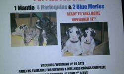 Great Dane puppies now available 6 males-1 Mantle, 4 Harlequin and 1 Blue Merle, 1 female Blue Merle Available November 12,2011 Vaccines/worming current.  Parents available for viewing and wellness checks complete. Deposit required. First come first pick.