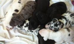 5 Harlequins, 3 blacks and 1 merle puppies for sale. Will have beautiful European style heads. See Ad in GTA for photos of parents or contact us and we will email photos of any particular color. . Both parents are harlequins and Dam is American Kennel
