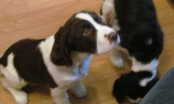 Cookie is our male, liver and white English Springer Spaniel.  He is bubbly, cuddly and likes to grumble.  He barks only occasionally but makes a lot of grunts, whines and yips.  It is like he is talking.    We would love to keep him but we already have 2