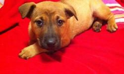 We are looking for a good home for this Boxer x Red Heeler pup. This pup should be medium sized when fully grown. She is healthy, happy and full of energy, and loves to go on walks. She has her first d-worming, first set of shots and a vet check passport.