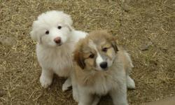 Only 2 females left   Great Pyrenees puppies. Mom is purebred. Dad is 25% Akbash (has the same qualities as a GreatPyrenees).This breed loves being around family. They are very friendly, affectionate and intelligent. These dogs are excellent guardians of