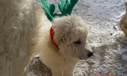 Adorable fluffy Great Pyrenees puppies ready for their new homes!  Only 8 left, 5 female, 3 male.  Vet checked, 1st shots and dewormed.  Raised with children and cats, they are very playful and loving.  Father is pure Great Pyrenees, mother is Malamute