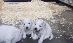 Great Pyrenees Puppies for sale.  Great with cats, children and livestock. Parents are working on protecting sheep.Pauppies will be ready to go to their homes February 5th with 1st set of shots, vet health check and deworming. Phone to save your puppy
