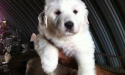 Great Pyrenees puppies for sale. Pure white. Working parent with sheep, hours , cat. very friendly , good sheep dog. I been raising these dogs for 15 years.  i have the best Pyrenees for you. They are 6 weeks old. ready to go soon. call for more info. my