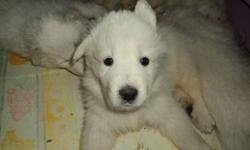 Great Pyrenees are a low-energy large breed dog that are great with people, affectionate, wonderful family dogs and are easy to train. These puppies have been well-handled and socialized with other dogs and cats. They are playful, smart and looking for a