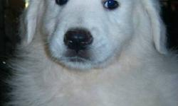 Beautiful Great Pyrenees puppies need a new home.  Vet checked, first and second shots, dewormed.  Price reduced to $250.00!!! Two females and three males available and ready for their new home.  Well socialized.  These puppies have a pure white, double
