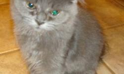 Have a grey male Persian kitten for sale very affectionate, cuddly, snuggles right into you gurgles when he runs or jumps talks to you, hates being leavt out or alone will make a good mouser. has had first set of shots, on waiting list with SPCA to get