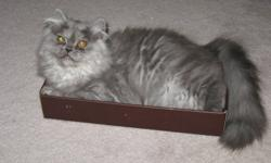 Female, spayed grey persian cat needs a good home with other animals and children or someone who just loves cats.   She's healthy and spunky.