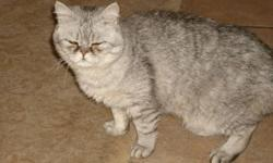 Chincilla  short to medium fur Persian looking for a loving forever home.   Bubbles is a inside house kitty, loves other kitties .   He is an awesome friend, but I can't keep him where I live.  He is kitty litter trained, loves to cuddle and is needing a