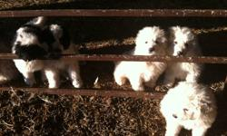 We have four guardian puppy dogs for sale. 4 males and 2 females, eight weeks old. Father is pure bred Grate Pyrenees, mother is Kuvasz cross Grate Pyrenees. Both parents are great working guardian dogs,always stay with sheep and chase coyotes away. Born