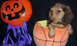CKC. Registered Longhair Mini Dachshund puppies. 2 litters. Born August 2nd and the 9th. Males and Females. They have been wormed twice, 1st shot done and Tattooed. They also leave with a 6 week Health Insurance. Non-Breeding Contract. Serious only