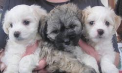 Beautiful Havachon puppies , Mom is a 9 lb Bichon Frise & Dad is a 10 lb Havanese. The delightful traits of the Havanese with out the high price. Non shedding loving dogs that are smart , loyal & easy to live with, All our pups are born & raised in our