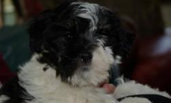My brothers have just been adopted and I am the only little one left here.  My brothers sure did dissappear quickly.  I am waiting patienly for you to come and love me.   This little pup is ready for her forever home.  She is the last pup available she