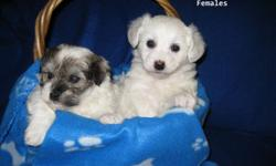 Havanese are companion dogs and are very social with people and other pets. They are gentle and responsive. Excellent with children. Very attached to their families. Playful, high degree of intelligence. They do well in obedience class. They are good for