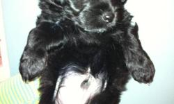 1 boy left - Ready to go December 15th. Includes 1st shots & de-worming. Mom is a 15lb Bichon (white curly hair) Dad is a 13lb Havanese/Shih Tzu Cross (White with some black silky hair) Pups are both black with a small amount of white and seem to have