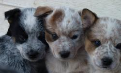 Red and Blue Heeler pups available. Males and Females. Parents are working. Good with kids and cats!! First Shots Done. References available. Call (306)322-5809.