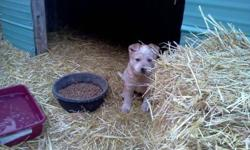 Hi There, We have 2 heeler pups for sale, mom is red heeler father is blue heeler and one heeler/mastiff pup. They are great with Cats and have the potential to be great cattle dogs. Pic # 1 &2 heeler pups $100 ( both Male) pic # 3 Heeler/ Mastiff cross
