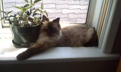 3 year old male Himalayan fixed and declawed no emails please