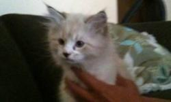 2. 10 week old beautiful male cross kittens. Mother purebred father half. Playful. Cuddly . Litter & scratch post trained. Ready to go This ad was posted with the Kijiji Classifieds app.