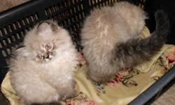I have two beautiful Himalayan Lynx Point Kittens for sale. Both are females with blue eyes. The kittens have had a visit to a vet for a checkup, first shots and deworming. They are very friendly and well socialized. If you are interested in seeing them