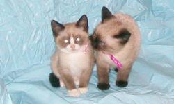 Super cuddly, these little babies start purring as soon as you take them.  Ready to go to a new home.  There is one little girl (third picture) still available and she has beautiful blue eyes.   She has been dewormed and she is litter box trained.   She