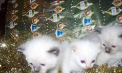 Himalayan Siamese cross Kittens.  3 available, father himalayan mother siamese.   1 Seal-Point male - Available 1 Seal-Point male - Available 1 Flame-Point male - Available   Both parents on site. Taking deposits of $75.00 to Hold....will not be rehomed