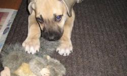 Holly is a 2 month old female Mastiff mix available for adoption through Manitoba Underdogs Rescue. - up to date on vaccinations - crate trained - doing very well with housebreaking Holly loves cuddles, kisses, naps, play time and treats! She is great