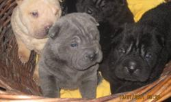 HI THERE AND THANKS FOR LOOKING AT OUR AD. WE HAVE FOR SALE 4 BEAUTIFUL HOME RAISED SHAR-PEI PUPPIES, THAT WILL BE READY FOR THERE FOREVER HOMES IN 2 TO 4 WEEKS. ALL THE PUPPIES WILL BE VET CHECKED BY A REPUTABLE VET, FIRST SHOTS AND DEWORMED. THERE IS 1