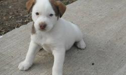 PUPPIES ARE  HEALTHY AND EATING FOOD. WILL BE READY FOR CHRISTMAS! TWO FEMALES AND TWO MALES. BLUE EYES!
