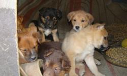 Husky, German shepherd & Lab cross puppies!  Males/Females 7 weeks old. $250.00 obo  Please call to view 250-376-0197