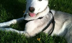 Takoda is eleven months old. He is a very loving, sociable dog. He requires a family who is going to pay him lots of attention. He is great with people and other animals.   Since I got this puppy, my situation has changed and I no longer have enough time