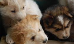 Husky puppies, nice big pups, all puppies will come vet checked, vaccinated, wormed and deflead, pure white available, red and white, silver and white, some have ears up some have ears down, thick coats dad is a Husky malamute and mom is a pure husky,