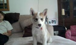 HEYY I HAVE A HUSKY PUPP AND I LIVE IN THE CITY AND I WORK ALL OF THE TIME SHE IS A PURE BREAD HUSKY 6 MOUNTHS OLD AND SHES A REAL CUTIE AND A GREAT CHRISTMAS PRESENT :) SO IF UR INTERESTED CALL MY HOUSE PHONE 416 320 0573