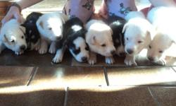 Husky puppies for sale. 4 male 4 female Can go after December 9th. The picture with 1 black one, are all girls. The one with 2 black ones, are all boys.