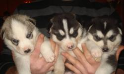 Husky Puppies ready to go for Christmas with first shots, dewormed, vet checked 3 great looking male huskies Great family pets last picture is of mom and dad, mom is grey and white with one blue and one brown eye $500 . deposit of $200 required call to