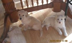 HUSKY     PUPPIES                               3  FEMALES      1 MALE                                 READY TO GO                              CALL FOR MORE  IMFORMATION