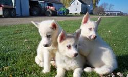 We have 3 Siberian  Husky puppies for sale. There are 2 females and 1 male.  These purebred puppies have had their first shots, dewormed, and come with their health records. These cute puppies are eagerly awaiting their new home.