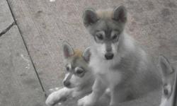 Very beautiful, has a fluffy coat with nice markings and nice colours. Puppy is 13 weeks old. Vet-check, first shots, dewormed, healthy, good weight. 1 Female left: Beige&white w/ brown eyes. Mother is sable colour with beautiful markings reg. coat.