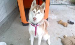 We have a 6 month old male SIberian Husky for sale. He has one blue eye and one half blue half brown eye. He is tan and white.He is a gorgeous large dog. Very energetic and friendly. Still needs to be worked with to train, but he knows how to sit, shake a