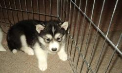 Registered husky pups with sought after bloodlines. Dewormed, will have first shots, microchipped and vet checked. Sire and dam onsite. Active sled dog heritage.