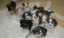 Beautiful Husky X Puppies for sale! 7 females 4 males. Both parents are great family pets. The puppies are family raised and used to children, come with first set of shots and are dewormed. Born Oct. 24, 2011. These will go fast!!