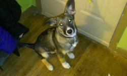 """""""CHASITY"""" female Husky x pup, approx. 4 months old. Flew in from northern community. Found as a stray. Very sweet puppy, does well with other dogs/cats/children. Adoption fee includes spay, 3 sets of distemper/parvo vaccinations, rabies vaccine,"""