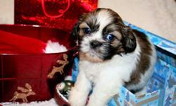 Excuse me! Hello!, Yes you! Now that I have your attention I'm a five  week old shih-tzu. My name is Simone, but you can name me whatever you like when you come take me home in just two weeks. I'm a female shihtzu who currently lives with my mommy , daddy